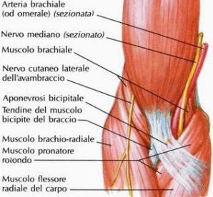 Tendine e muscoli brachiali